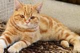 Британский котик. С документами